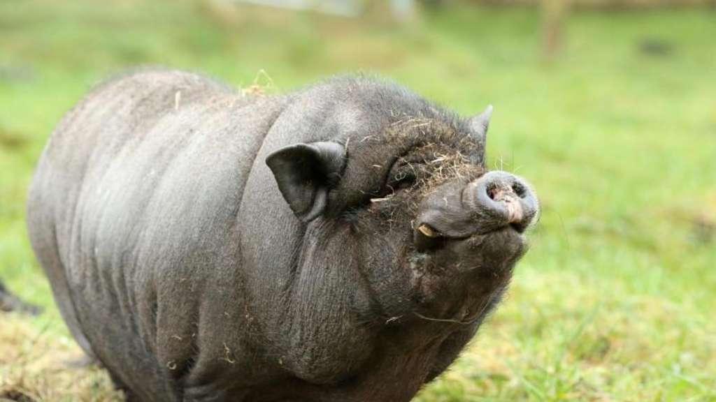 Wie Man Minischweine Als Haustiere Hält Tiere