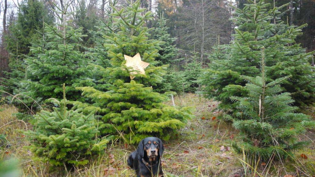 Gaststätte Tannenbaum.Tannenbaum Selbst Schlagen Oder Kaufen Wir Zeigen Wo Im Taunus Was