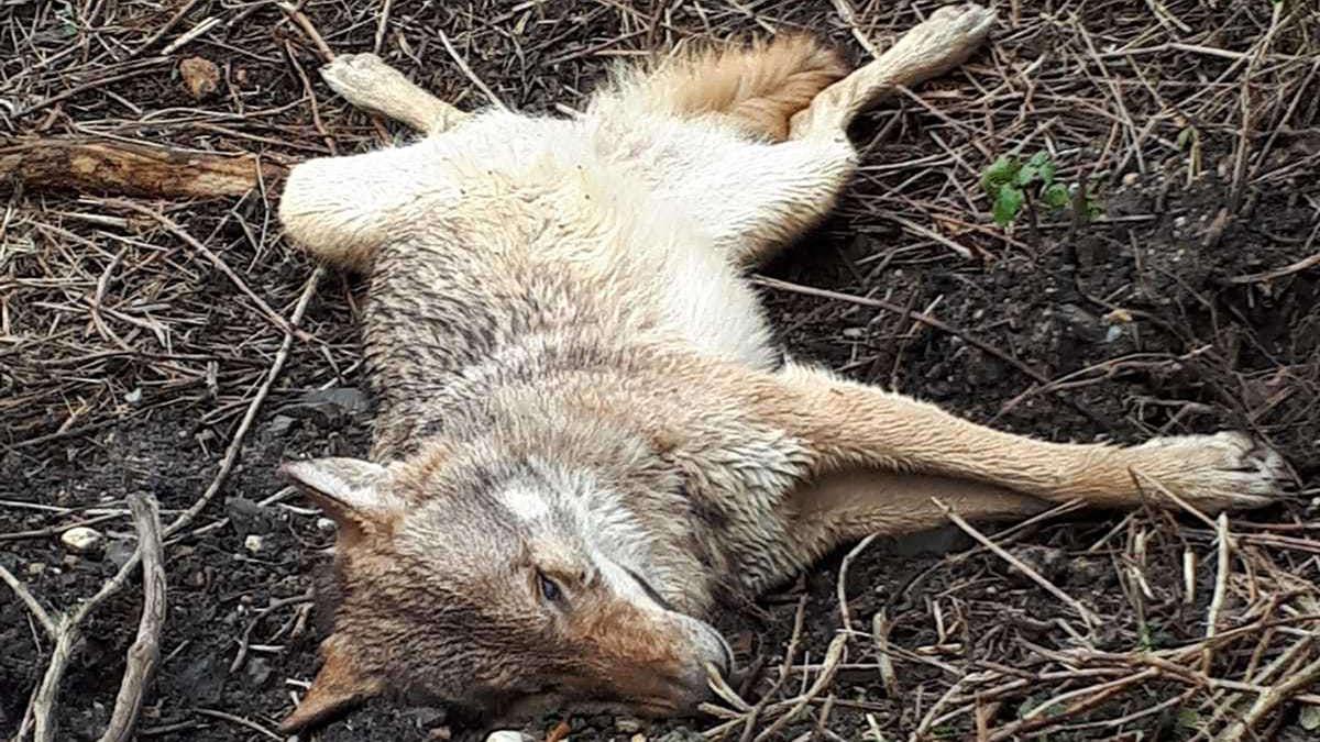 Toter Wolf in Wiesbaden gefunden – Forscher lüften sein Geheimnis